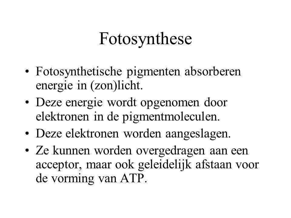 Fotosynthese Fotosynthetische pigmenten absorberen energie in (zon)licht. Deze energie wordt opgenomen door elektronen in de pigmentmoleculen.