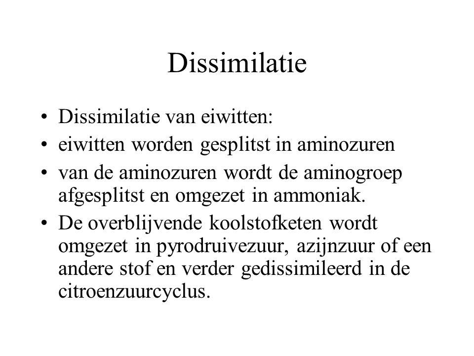 Dissimilatie Dissimilatie van eiwitten: