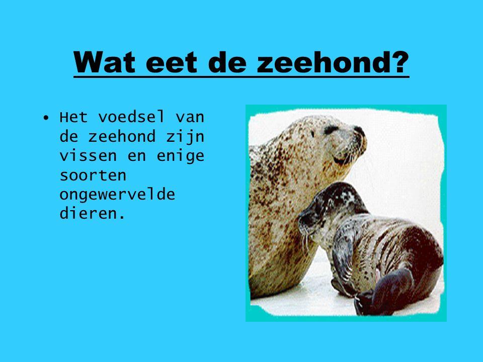Wat eet de zeehond Het voedsel van de zeehond zijn vissen en enige soorten ongewervelde dieren.