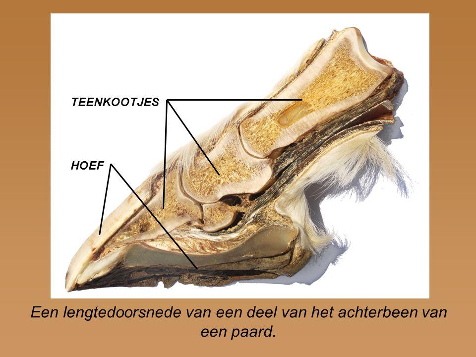 Een lengtedoorsnede van een deel van het achterbeen van een paard.
