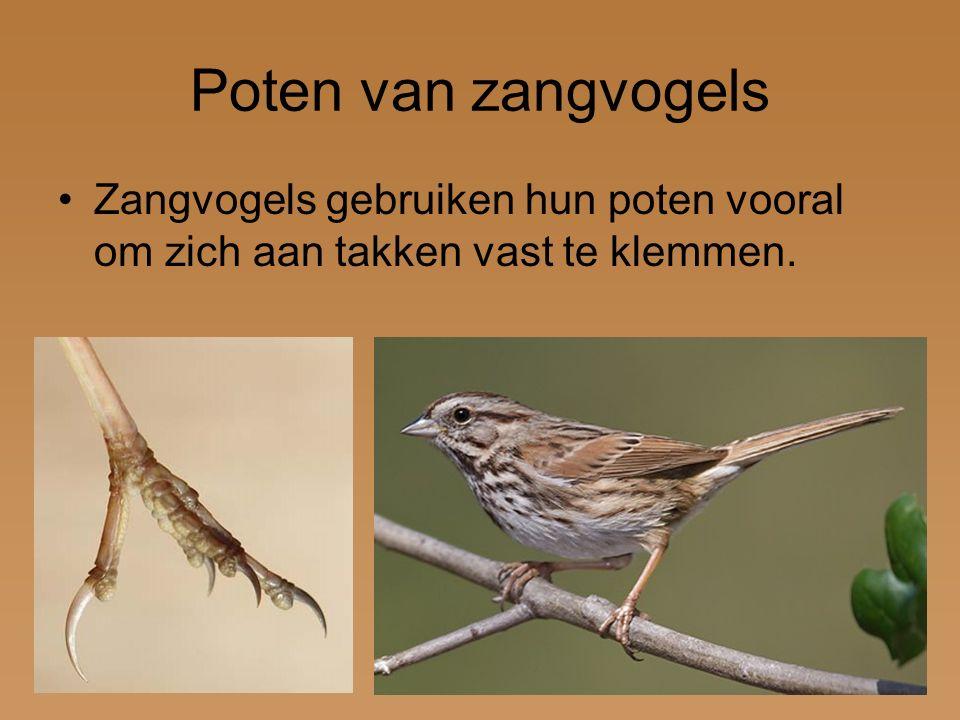 Poten van zangvogels Zangvogels gebruiken hun poten vooral om zich aan takken vast te klemmen.