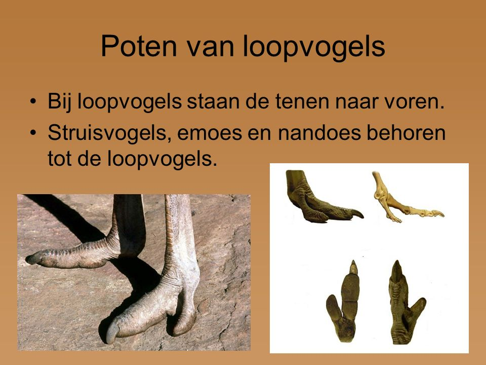 Poten van loopvogels Bij loopvogels staan de tenen naar voren.