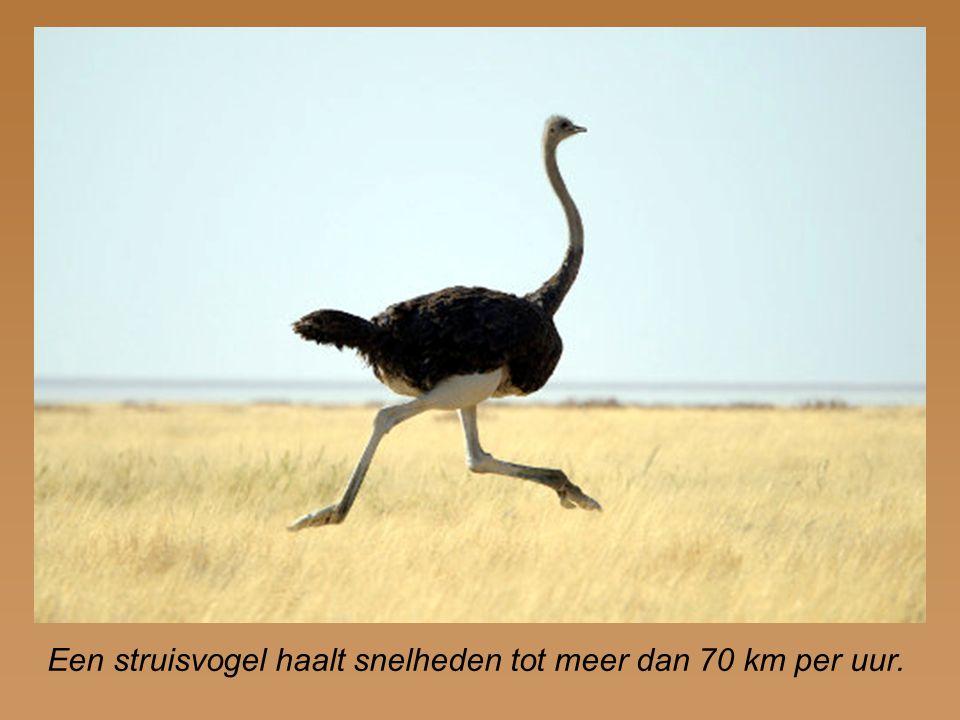 Een struisvogel haalt snelheden tot meer dan 70 km per uur.