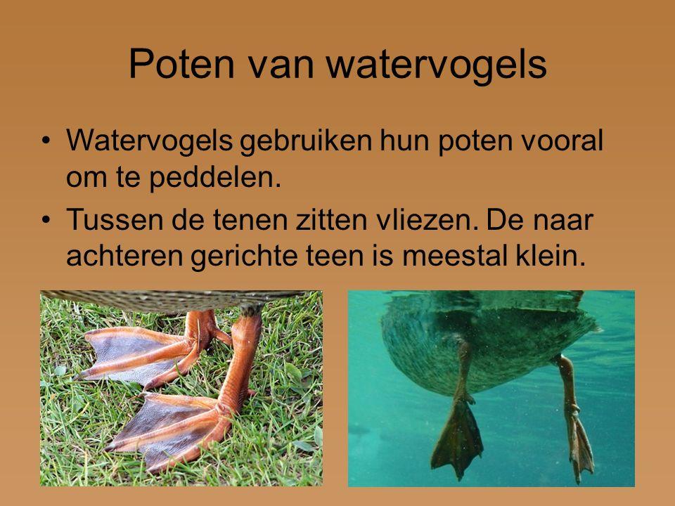 Poten van watervogels Watervogels gebruiken hun poten vooral om te peddelen.
