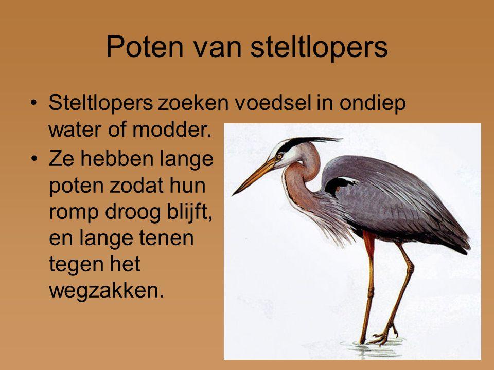 Poten van steltlopers Steltlopers zoeken voedsel in ondiep water of modder.