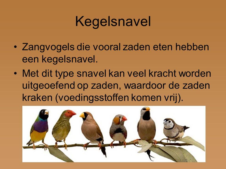 Kegelsnavel Zangvogels die vooral zaden eten hebben een kegelsnavel.
