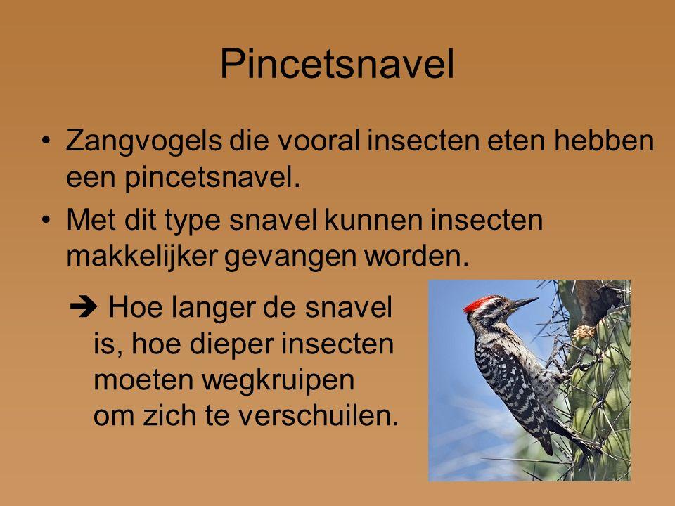 Pincetsnavel Zangvogels die vooral insecten eten hebben een pincetsnavel. Met dit type snavel kunnen insecten makkelijker gevangen worden.