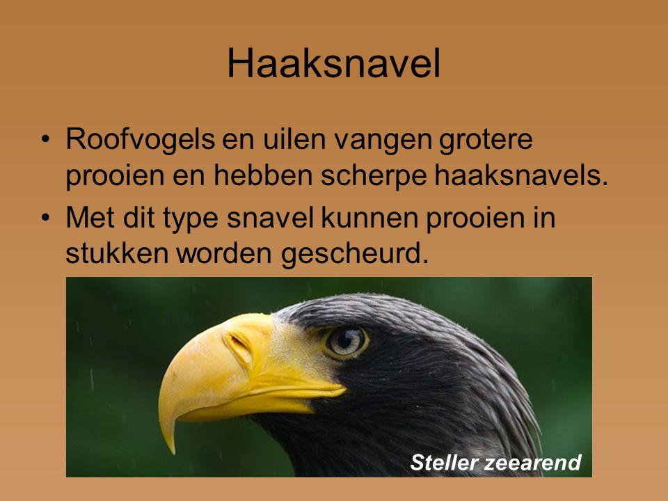 Haaksnavel Roofvogels en uilen vangen grotere prooien en hebben scherpe haaksnavels. Met dit type snavel kunnen prooien in stukken worden gescheurd.