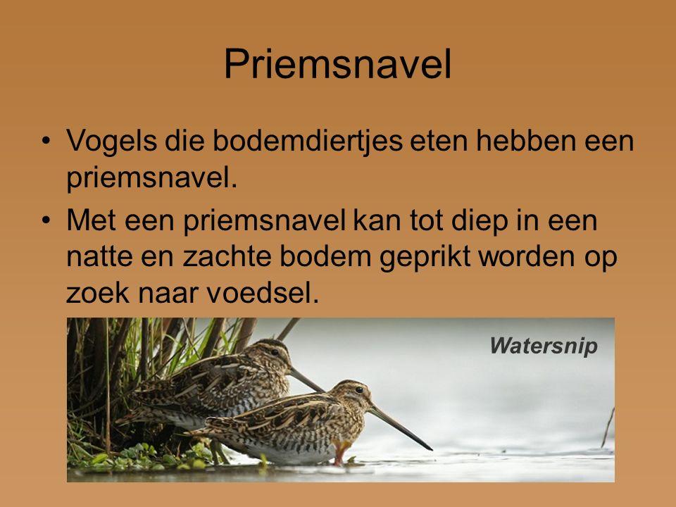 Priemsnavel Vogels die bodemdiertjes eten hebben een priemsnavel.