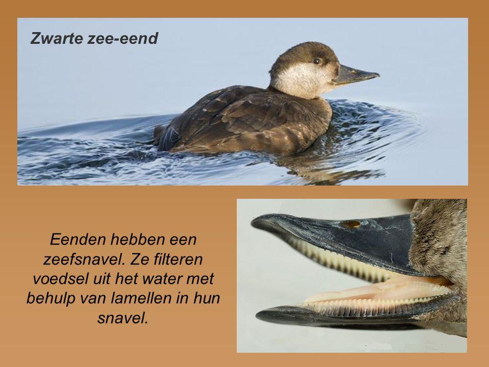 Zwarte zee-eend Eenden hebben een zeefsnavel.
