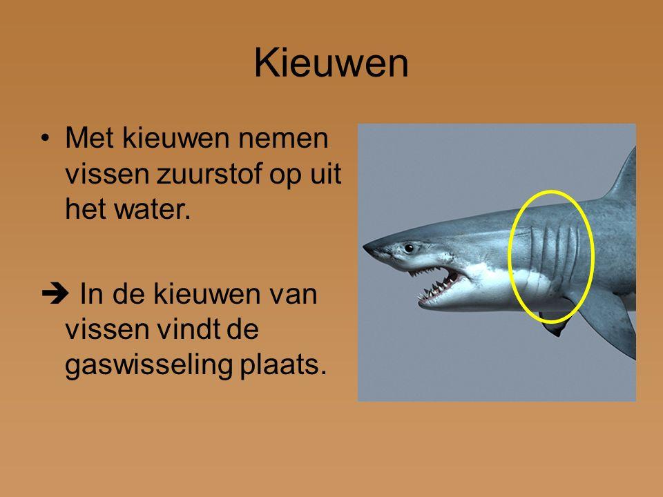 Kieuwen Met kieuwen nemen vissen zuurstof op uit het water.