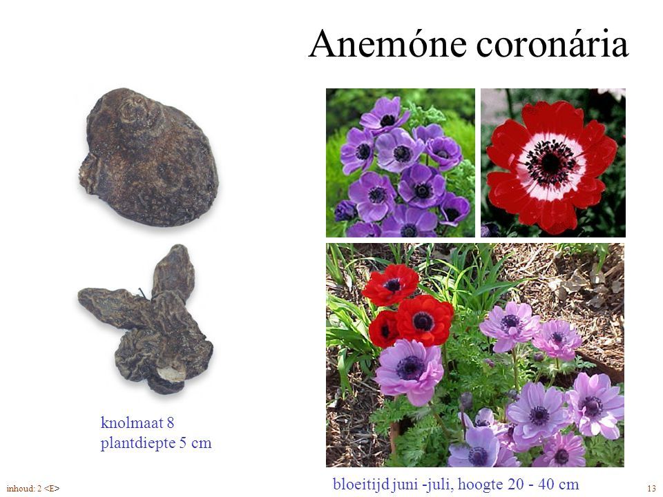 Anemóne coronária knolmaat 8 plantdiepte 5 cm