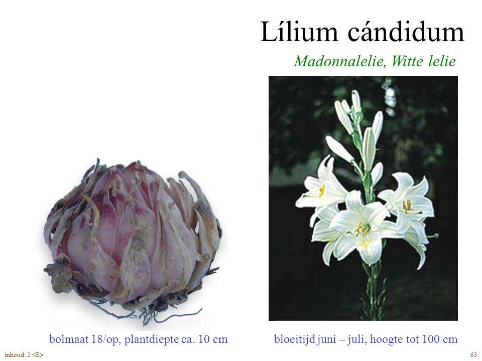 Lílium cándidum Madonnalelie, Witte lelie