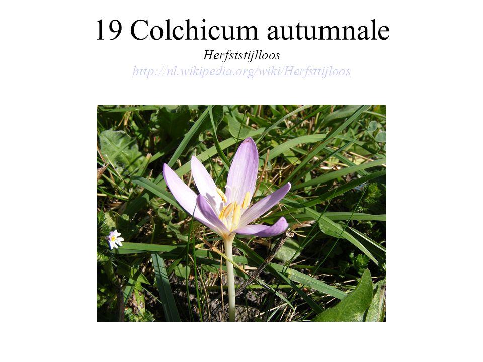 19 Colchicum autumnale Herfststijlloos http://nl. wikipedia