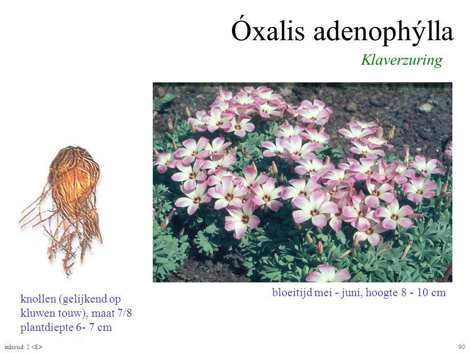Óxalis adenophýlla Klaverzuring bloeitijd mei - juni, hoogte 8 - 10 cm