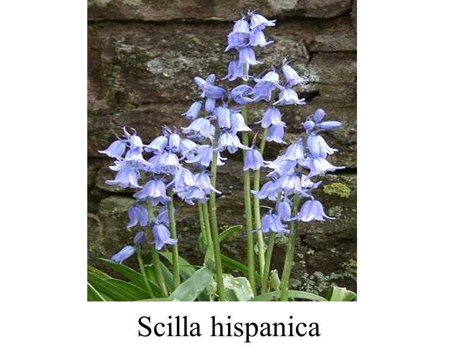 Scilla hispanica