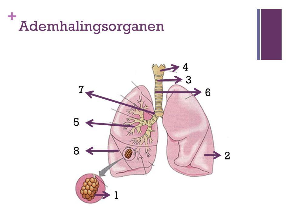 Ademhalingsorganen 4 3 7 6 5 8 2 1