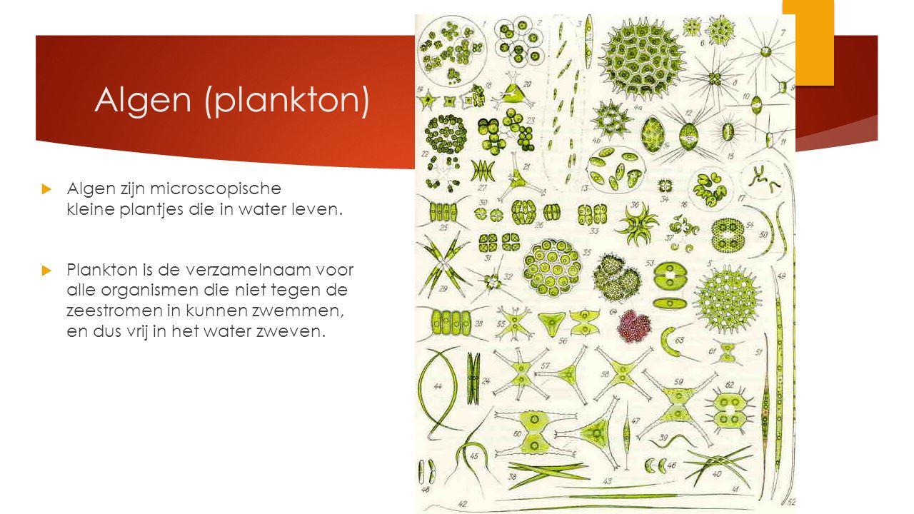 Algen (plankton) Algen zijn microscopische kleine plantjes die in water leven.