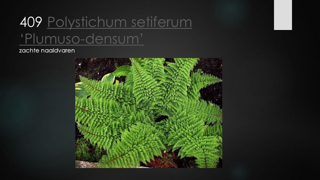 409 Polystichum setiferum 'Plumuso-densum' zachte naaldvaren