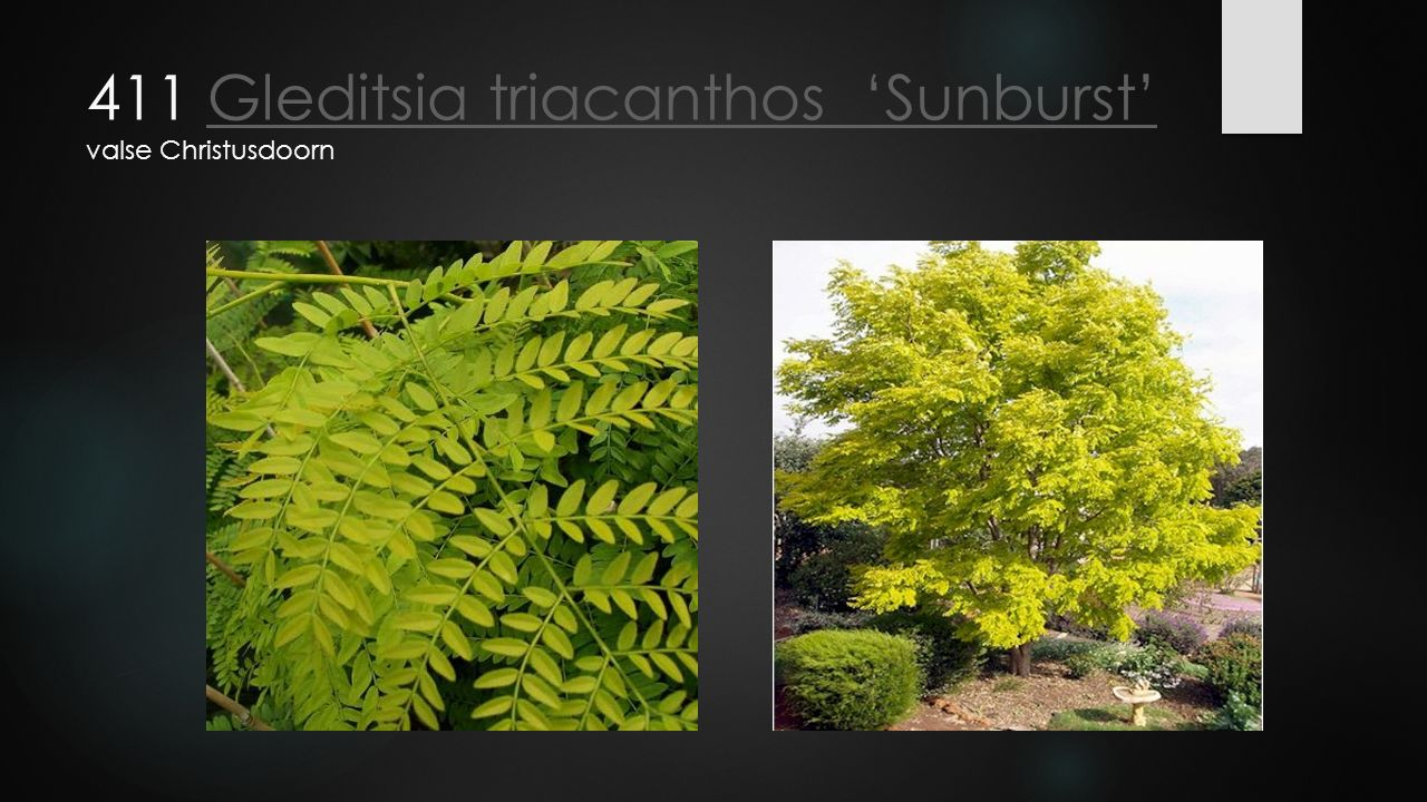 411 Gleditsia triacanthos 'Sunburst' valse Christusdoorn