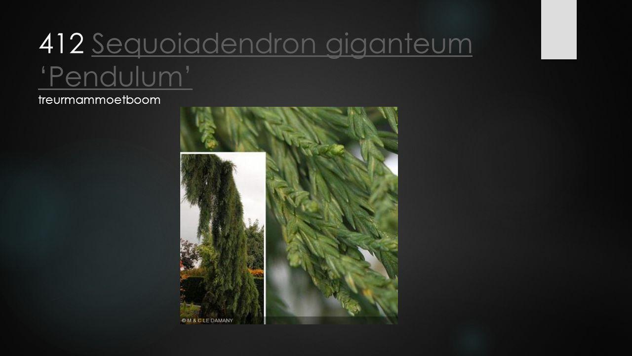 412 Sequoiadendron giganteum 'Pendulum' treurmammoetboom