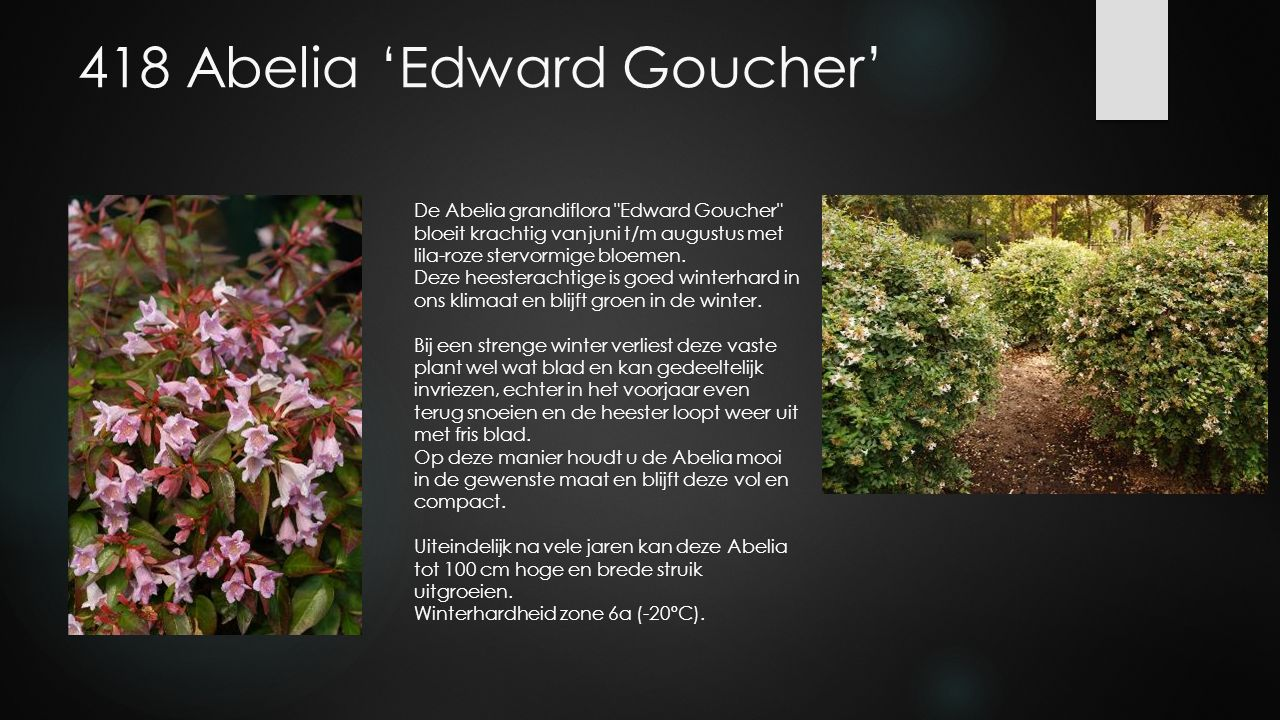 418 Abelia 'Edward Goucher'