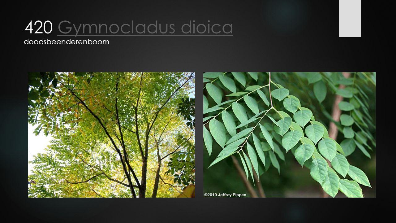 420 Gymnocladus dioica doodsbeenderenboom