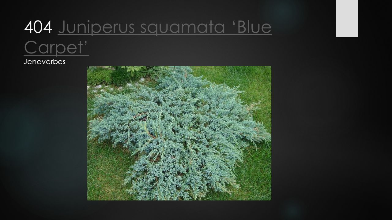 404 Juniperus squamata 'Blue Carpet' Jeneverbes