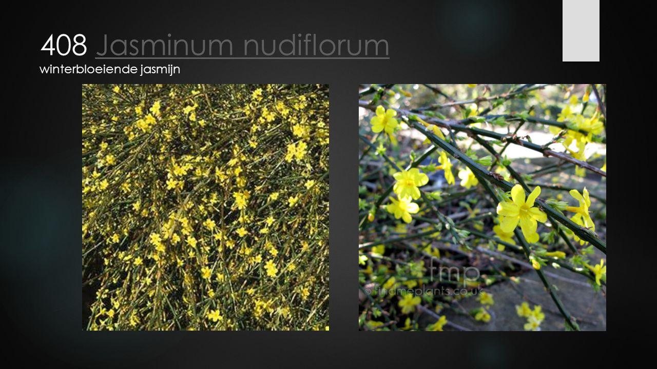 408 Jasminum nudiflorum winterbloeiende jasmijn