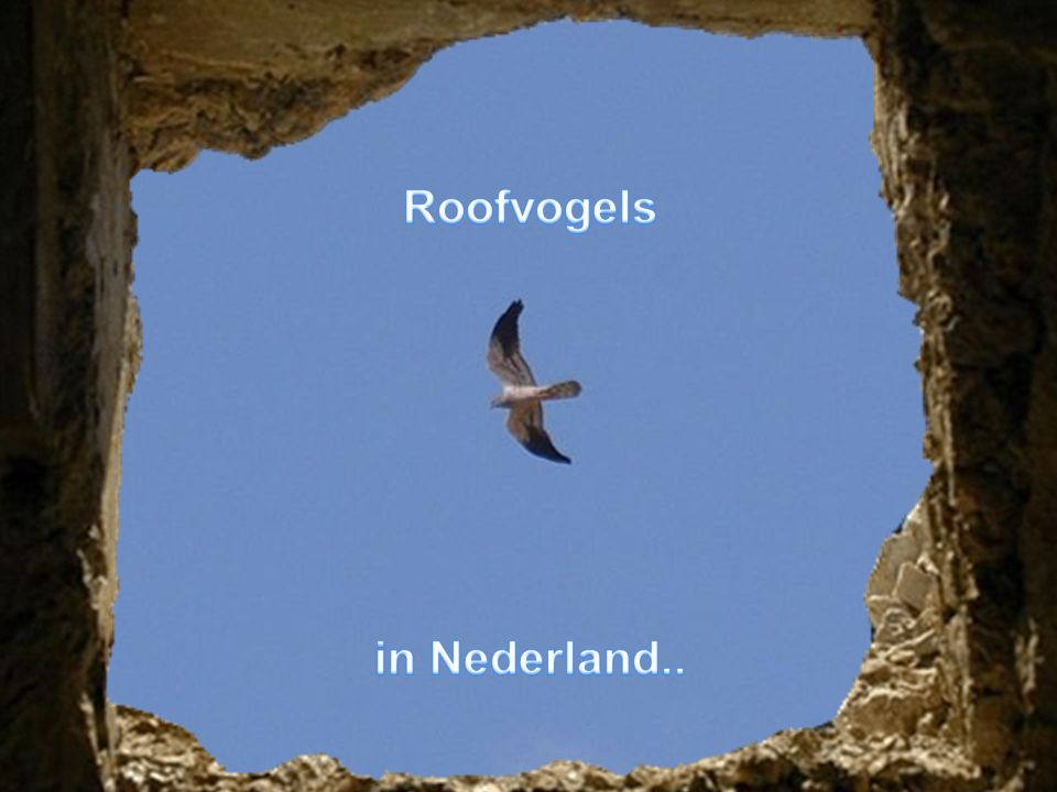 Roofvogels in Nederland..