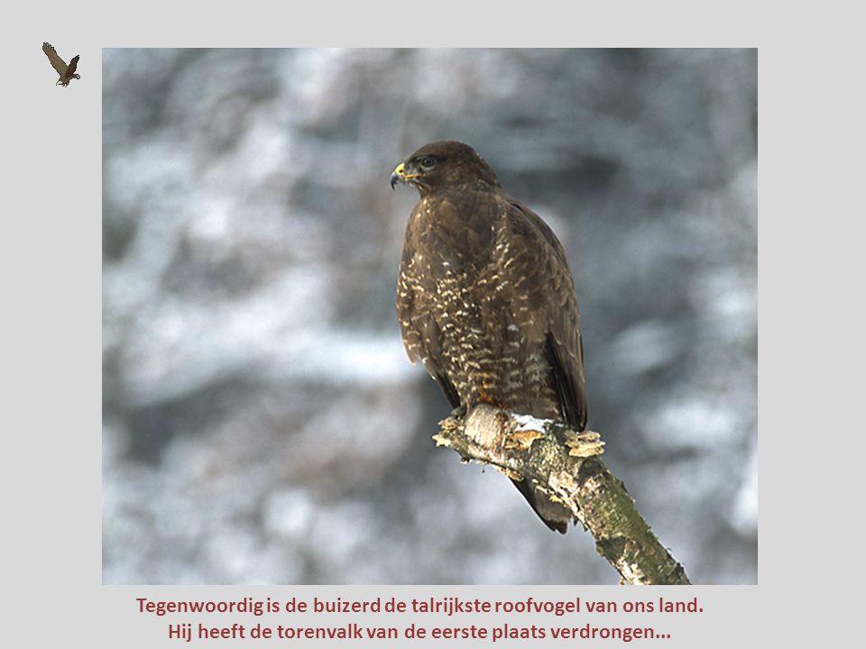 Tegenwoordig is de buizerd de talrijkste roofvogel van ons land.