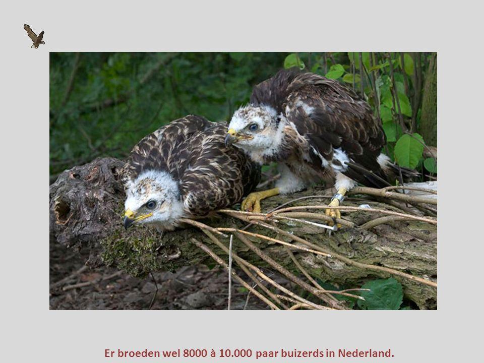 Er broeden wel 8000 à 10.000 paar buizerds in Nederland.