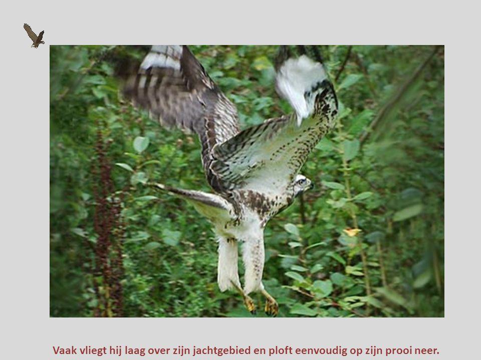 Vaak vliegt hij laag over zijn jachtgebied en ploft eenvoudig op zijn prooi neer.