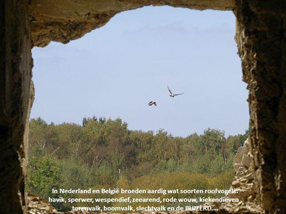 In Nederland en België broeden aardig wat soorten roofvogels: