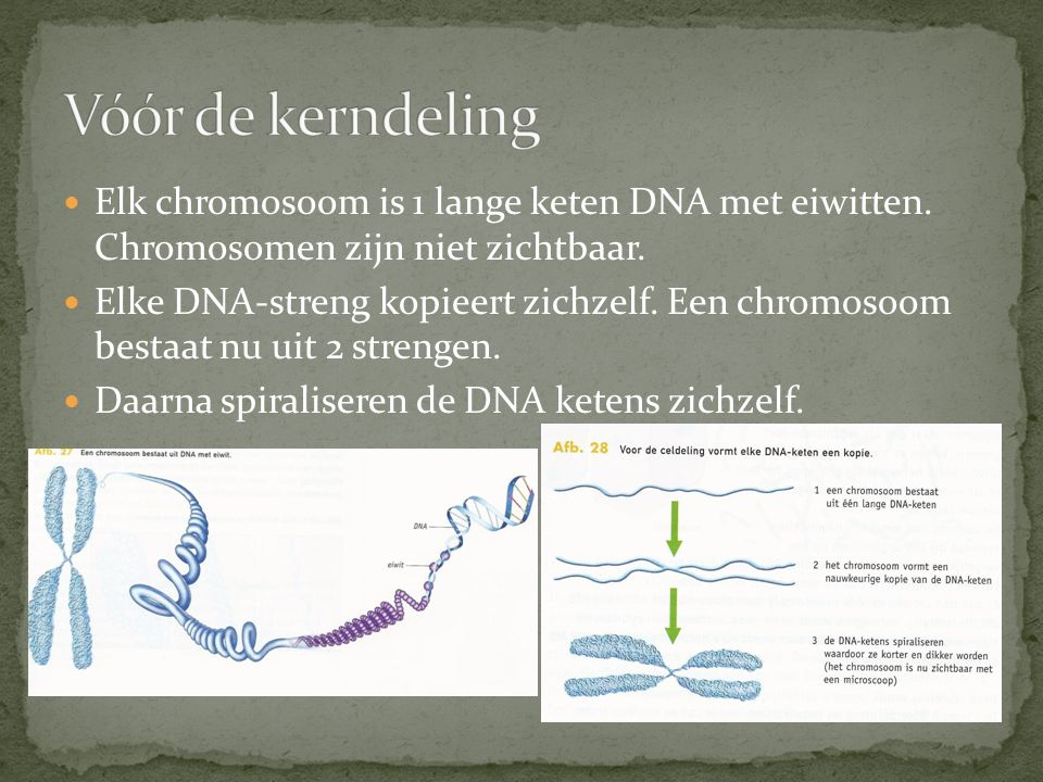 Vóór de kerndeling Elk chromosoom is 1 lange keten DNA met eiwitten. Chromosomen zijn niet zichtbaar.