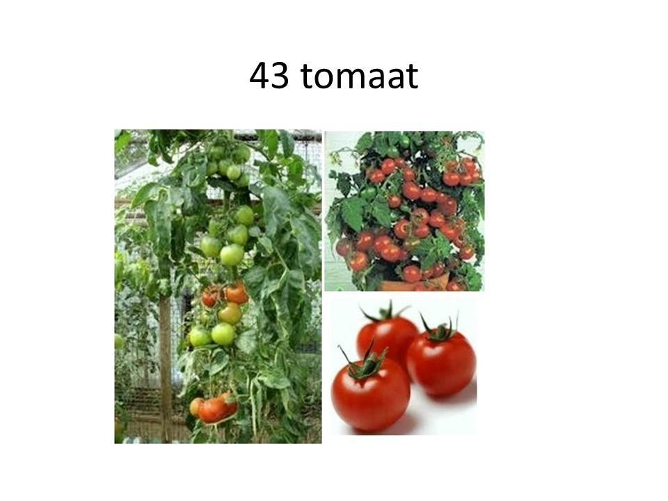 43 tomaat