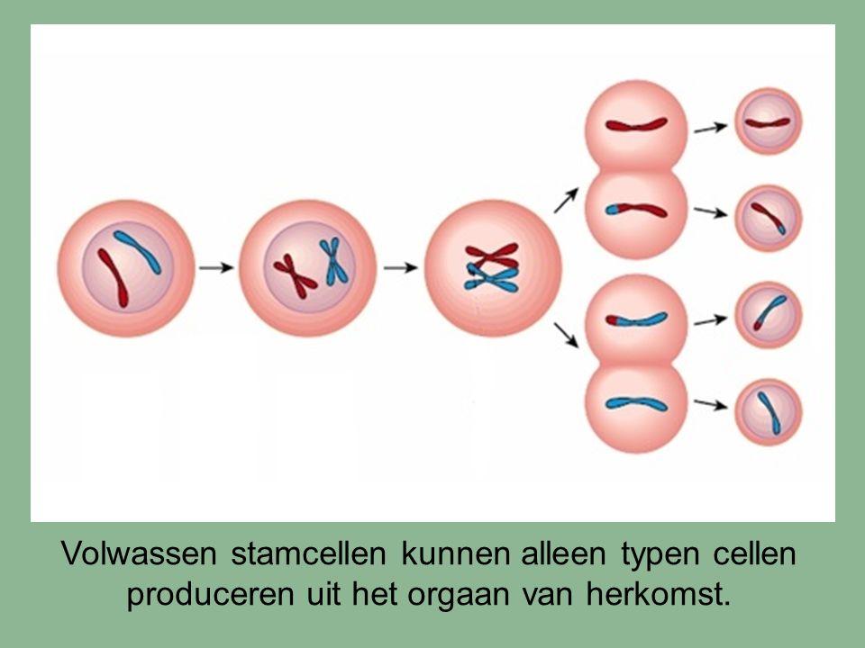 Volwassen stamcellen kunnen alleen typen cellen produceren uit het orgaan van herkomst.