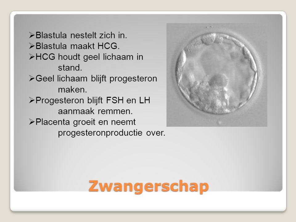 Zwangerschap Blastula nestelt zich in. Blastula maakt HCG.