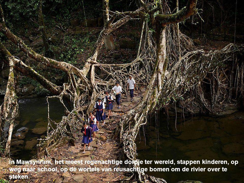 In Mawsynram, het meest regenachtige dorpje ter wereld, stappen kinderen, op weg naar school, op de wortels van reusachtige bomen om de rivier over te steken.
