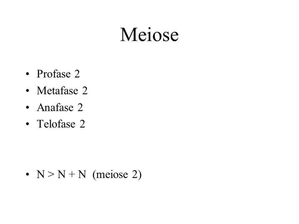 Meiose Profase 2 Metafase 2 Anafase 2 Telofase 2