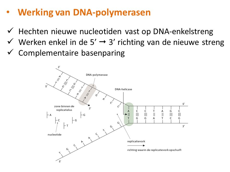 Werking van DNA-polymerasen
