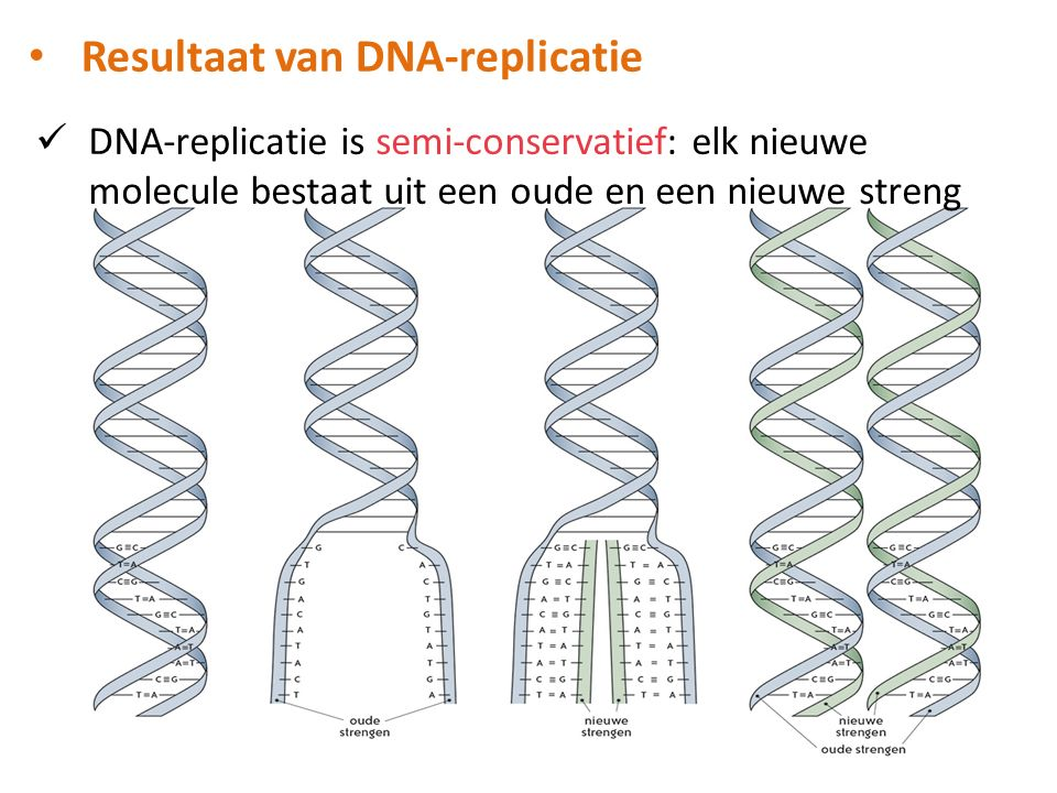Resultaat van DNA-replicatie