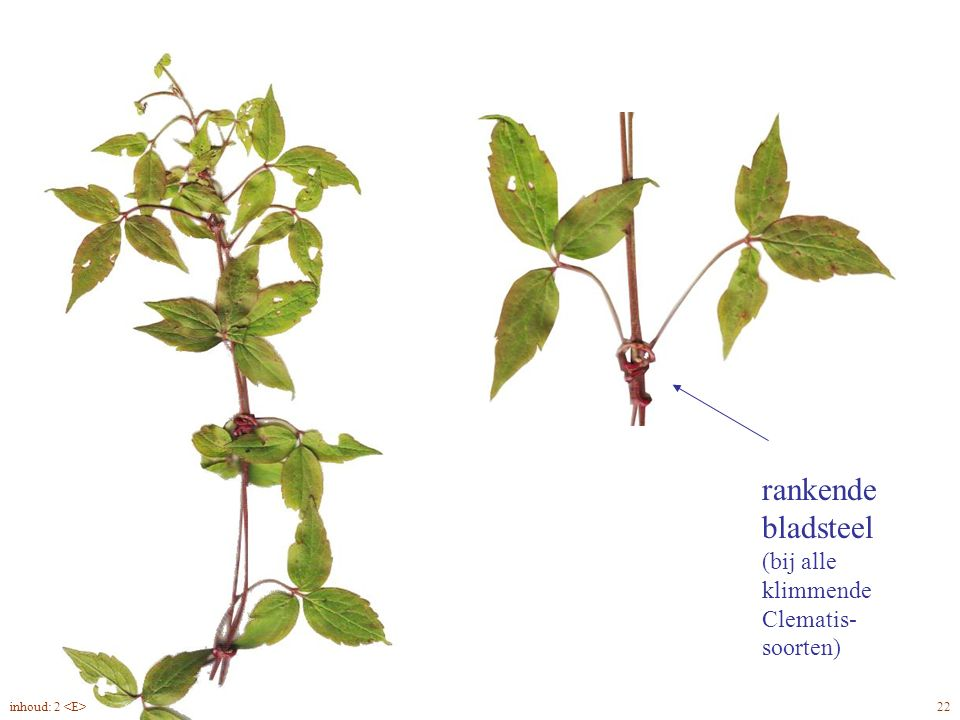 Clematis montana blad, rank
