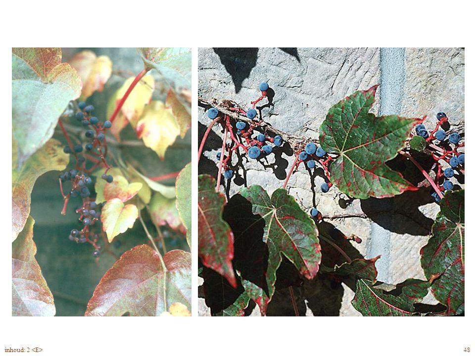Parthenocissus tricuspidata vrucht