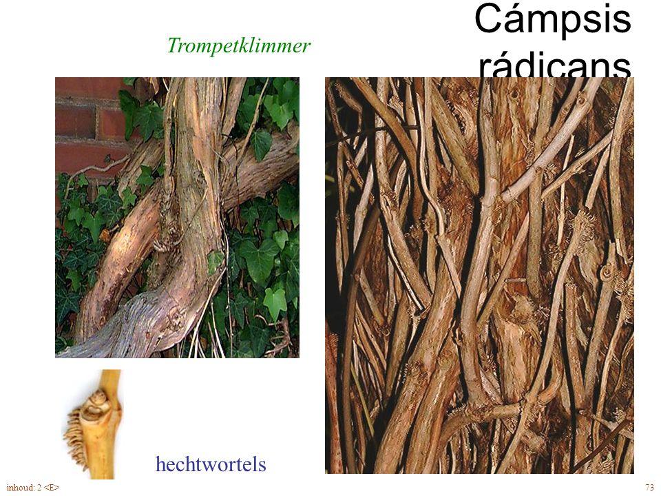 Cámpsis rádicans Trompetklimmer hechtwortels inhoud: 2 <E> 73