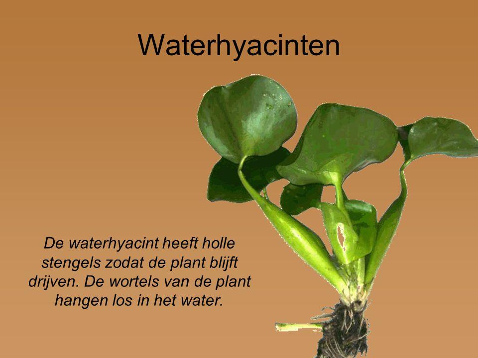 Waterhyacinten De waterhyacint heeft holle stengels zodat de plant blijft drijven.