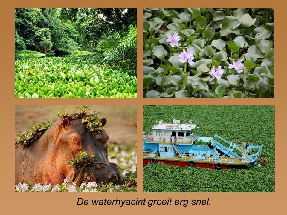 De waterhyacint groeit erg snel.