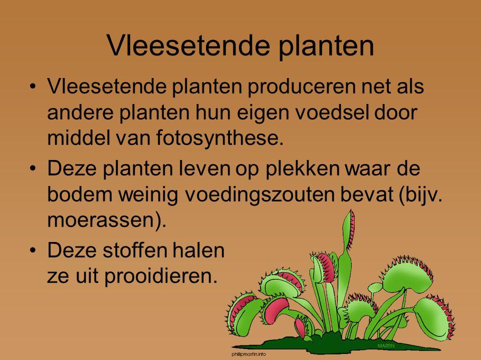 Vleesetende planten Vleesetende planten produceren net als andere planten hun eigen voedsel door middel van fotosynthese.