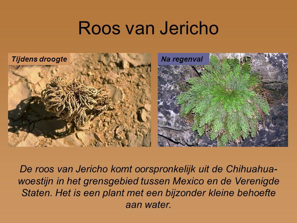 Roos van Jericho Tijdens droogte. Na regenval.