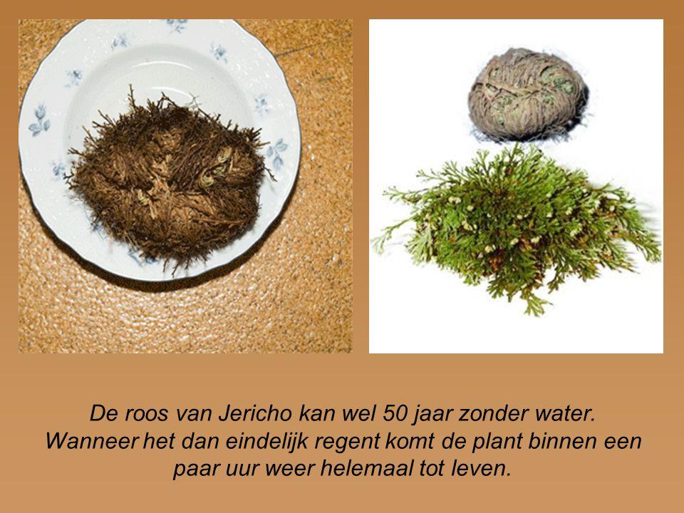 De roos van Jericho kan wel 50 jaar zonder water